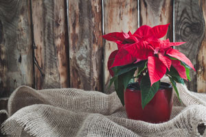 Poinsettia Houseplant