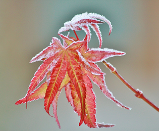 A winter gardening scene with a frosty leaf