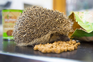 A hedgehog eating Hedgehog Food