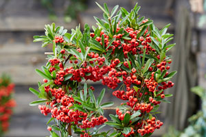 Pyracantha 'Red Star'