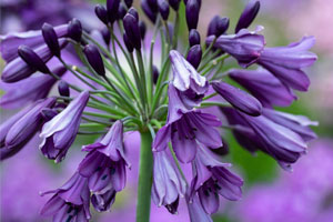 Agapanthus Poppin Purple - a part of Wyevale's promotional range