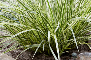 Wyevale Nurseries - Lomandra 'White Sands'