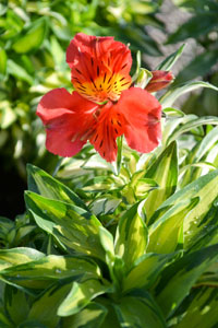 Also On Show Will Be Alstroemeria Little Miss Zoe A Stunning Variegated With Brilliant Red Flowers Such Stopper