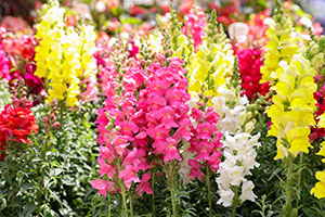 Antirrhinum majus or Snapdragon flowers are perfect for an allergy-free garden